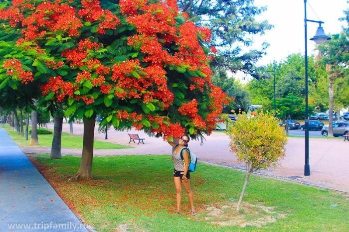 Безумно красивые цветущие деревья в теплом сентябрьском Торремолиносе.