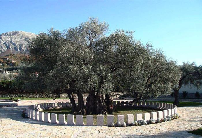 Старая маслина Бар