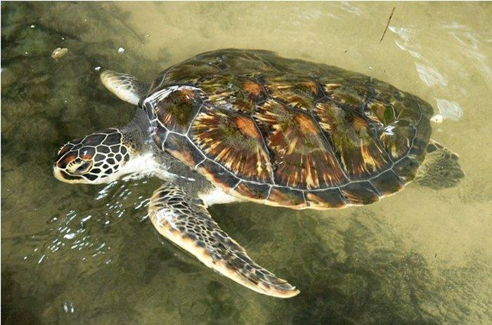 Черепаховая ферма (Sea Turtle Protection Association)