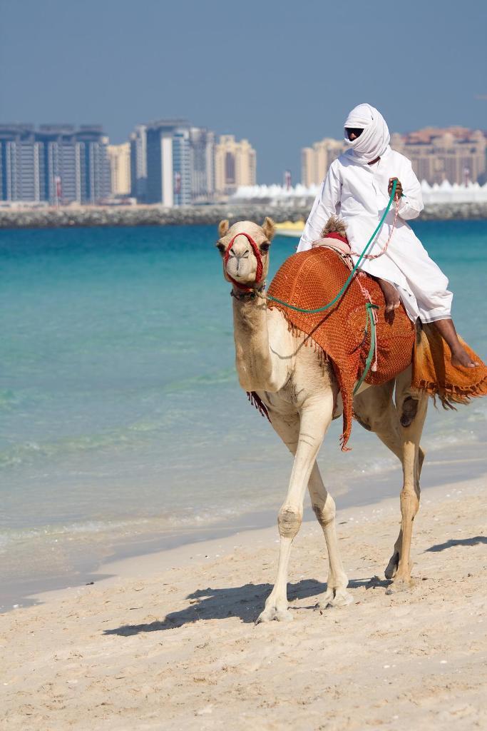 Верблюд на пляже Джумейра в Дубае.jpg