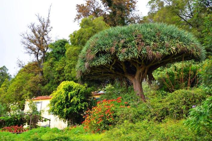 Фуншал Мадейра драконовое дерево