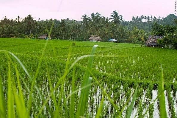 Рисовые поля по дороге в Сари Органик